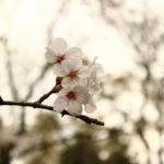自然の音をBGMに。等々力渓谷の桜と緑、そして水の流れに春を感じる。