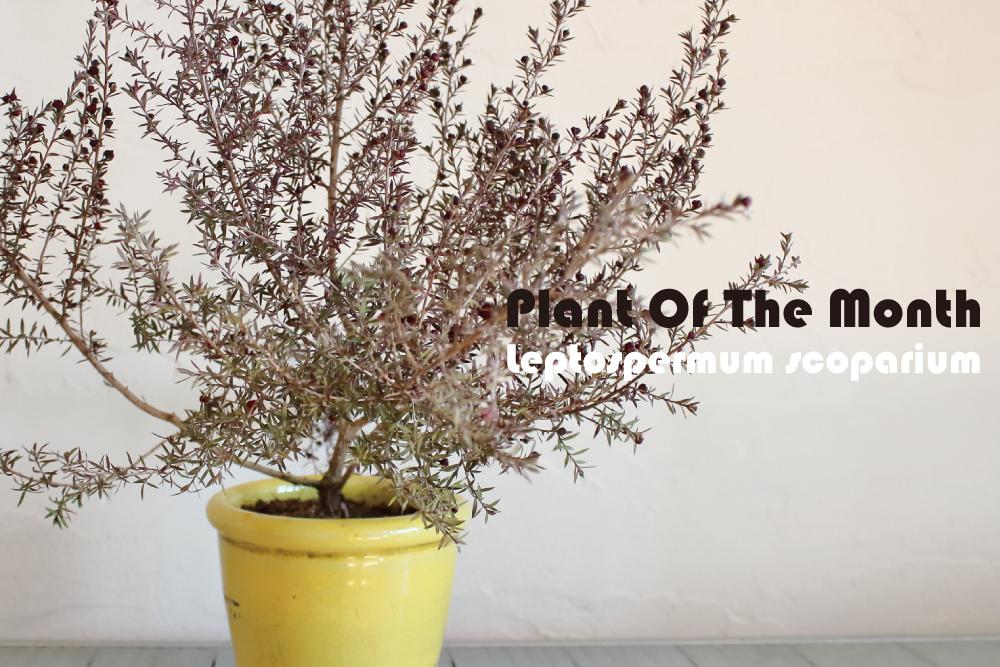 Plant Of The Month〜今月の植物「ギョリュウバイ」