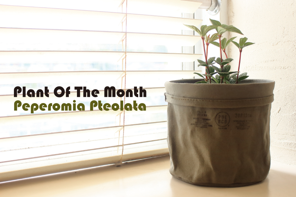 Plant Of The Month〜今月の植物「ペペロミア・プテオラータ」