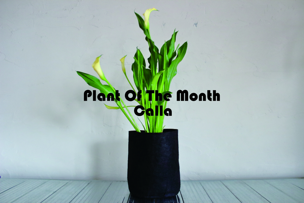Plant Of The Month〜今月の植物「カラー」