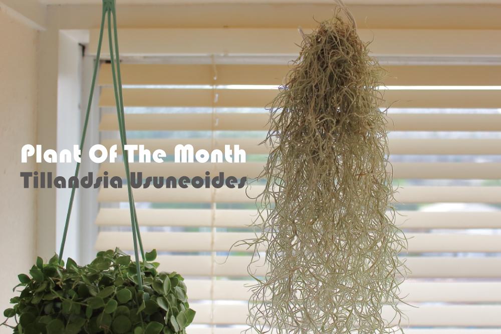 Plant Of The Month〜今月の植物「ティランジア・ウスネオイデス(スパニッシュモス)」