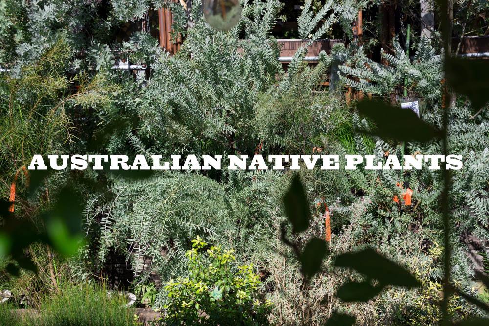 庭に植えても、鉢植えでも。ワイルドでカッコいいオーストラリアのネイティブ・プランツ