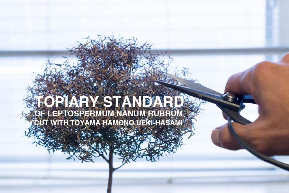 外山刃物の植木鋏で、スタンダード仕立ての植物の樹形を整える