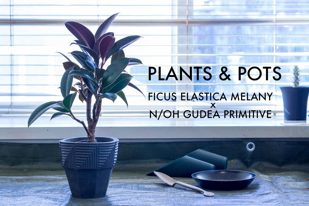植物と鉢。フィカス・メラニーをN/OH グデア・プリミティブに植え替える