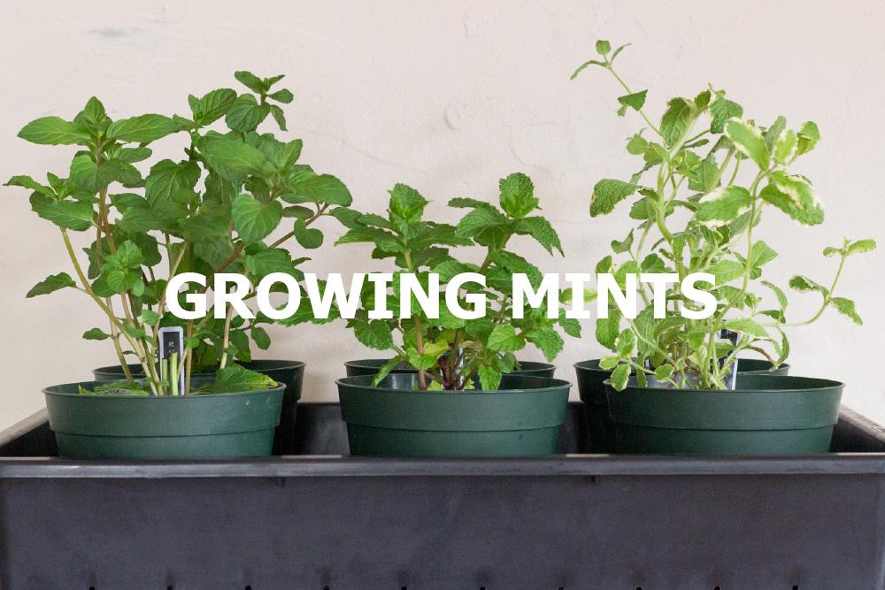 同じナーセリー(生産者)のミントを複数品種育てる