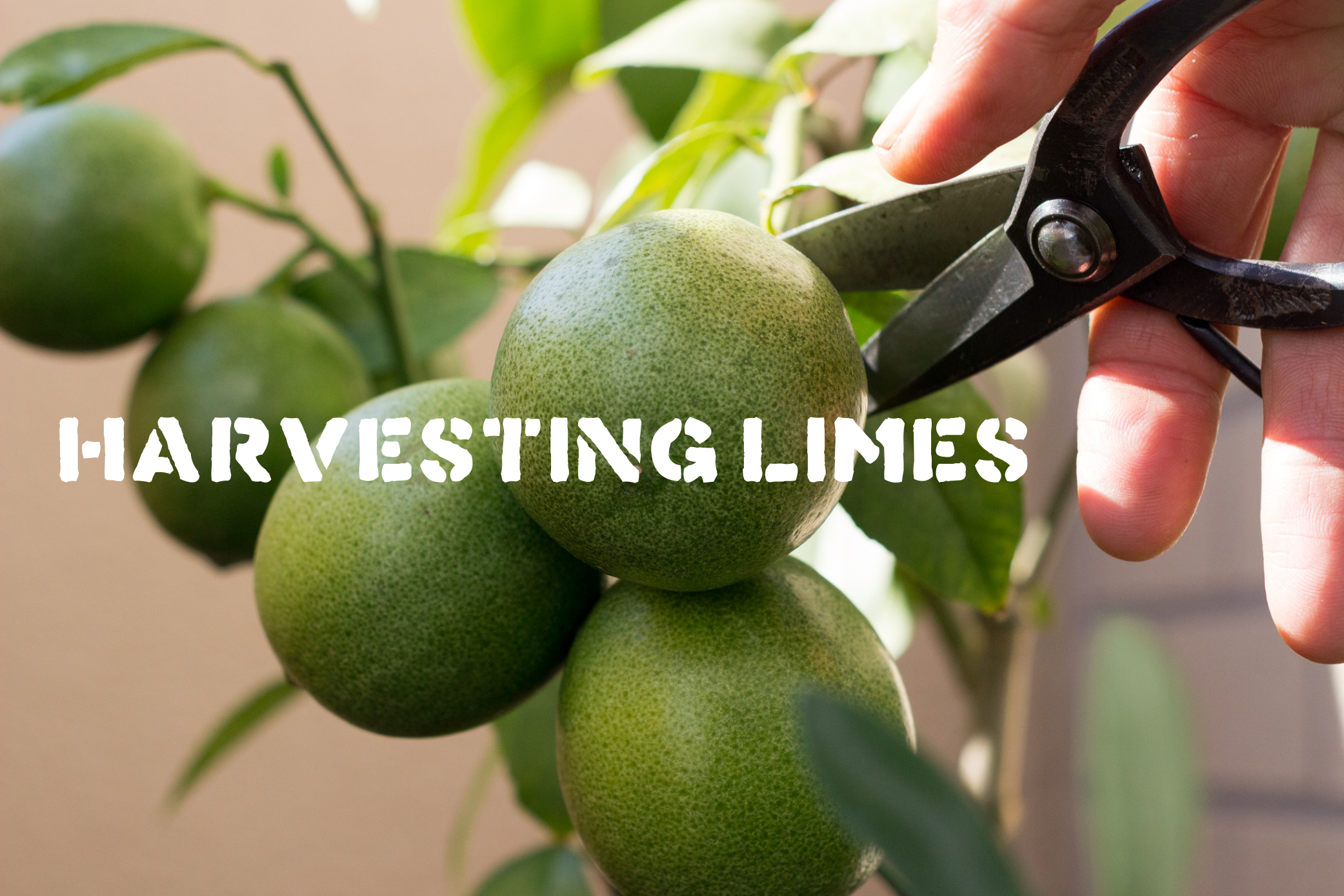 ベランダで栽培してる鉢植えライムの実を収穫